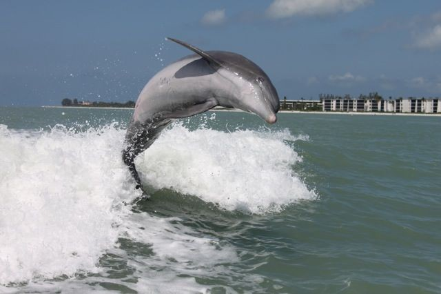 Go for a ride on the Sanibel Thriller to see dolphins.
